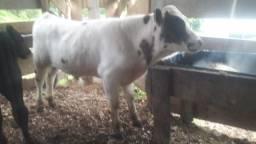 Título do anúncio: Mini touro mini vaca
