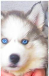Ultimo Husky wooly 6 meses