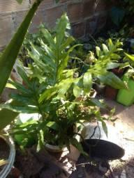 Título do anúncio: planta Samambaia Jamaica