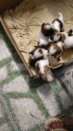 Título do anúncio: Vendo filhotes de Shih tzu