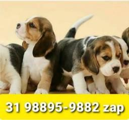 Título do anúncio: Canil Cães Premium Filhotes BH Beagle Lhasa Poodle Shihtzu Yorkshire Maltês Basset