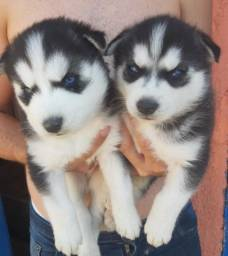 Título do anúncio: Husky Siberiano com pedigree e microchip em até 12x