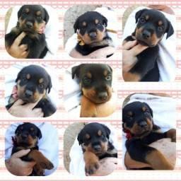 Filhotes de Rottweiler em Barretos-SP