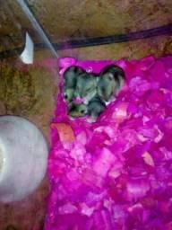 Hamsters Filhotes
