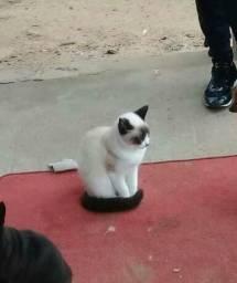 Procuro gata ou gato siames