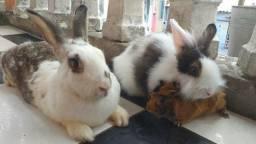 Adoto coelhos e porquinhos da india