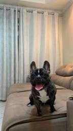 Bulldog francês macho para cruzar