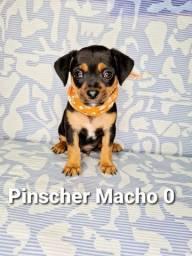 Pinscher acessíveis para você