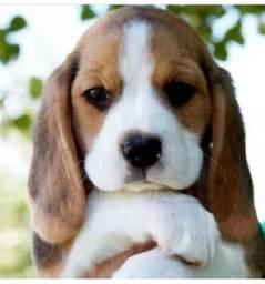 beagle entregamos em sua casa