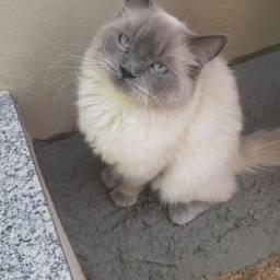 Título do anúncio: Vendo ou troco gato persa macho sem castrar