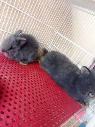Título do anúncio: Casal de coelhos da raça Angorá.