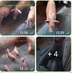 Título do anúncio: Vendo porcos