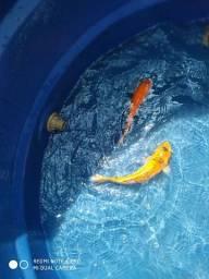 Título do anúncio: Peixes ornamentais