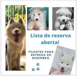 Título do anúncio: Husky siberiano puro pedigree reservas abertas para vendas