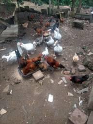 Vendo galinhas e patos