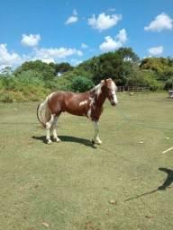 Lindo Garanhão - Pintura de cavalo