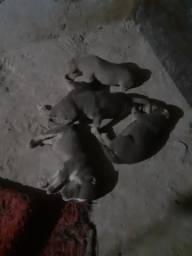 Vendo filhote de pit bull puro linhagem