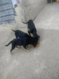 Doação de cachorros urgente