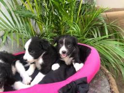 Shitzu com poodles com caminha de brinde 150 cada