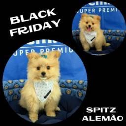 Black Friday no Puppy Stop - Spitz Alemão Macho - Parcelado 12X