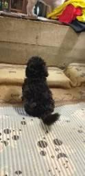 Vendo um cachorro poodle macho