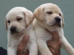 Labrador macho otima linhagem