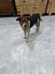 Doação de cão macho vira lata misturado com beagle