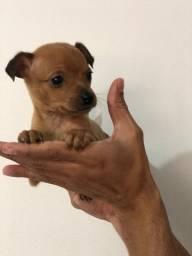 Pinscher miniatura com pedigree e beneficios