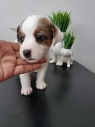Jack Russel o cãozinho do mascará compre já!