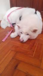 Título do anúncio: DOA-SE Akita castrada (Cachorro Grande) Teresópolis