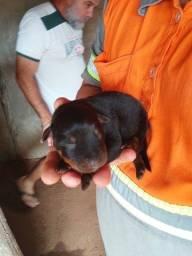 Título do anúncio: Filhotes de Rottweiler LEIA A DESCRIÇÃO