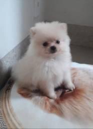 Título do anúncio: Lulu da Pomerania fêmea branca pérola