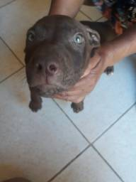 Vendo pit bull red nose