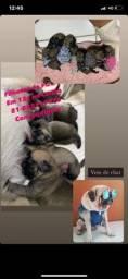 Título do anúncio: LINDOS FILHOTES DE PUG ! 1.399