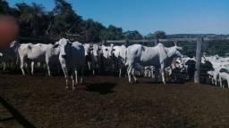 Vacas nelores