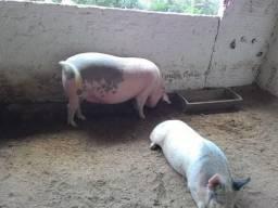 Estou doando um porco por motivos pessoais real interesse chama wpp
