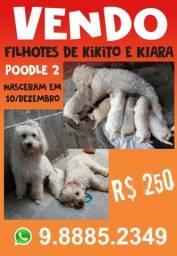 Cachorro poodle 2