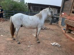 Cavalo paulistano