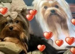 Linda fêmea de yorkshire terrier