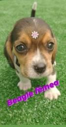 Beagle linda menina