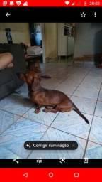 Procuro uma fêmea da raça bace(salcicha) pra cruzar com o meu dog.