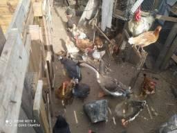 Título do anúncio: Vendo gansos africano,patos e galinha da angola
