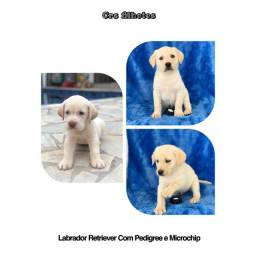 Labrador  com pedigree e microchip em até 12X