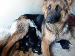 Título do anúncio: Filhotes de pastor alemão capa preta legítimo pra reservas