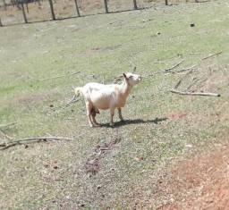 Título do anúncio: Cabra com duas cabritinhas fêmeas mais um bode