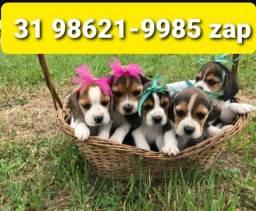 Título do anúncio: Beagle Mini Filhotes Tricolores 13 Polegadas Machos e Fêmeas