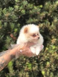 Lulu da pomerania anão baby face pronta entrega com pedigree