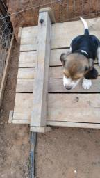 Título do anúncio: Beagles com pedigree