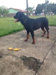 Rottweiler 1 ano e meio