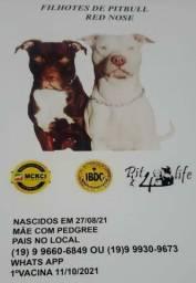 Título do anúncio: Filhotes de Pitbull (Red Nose)